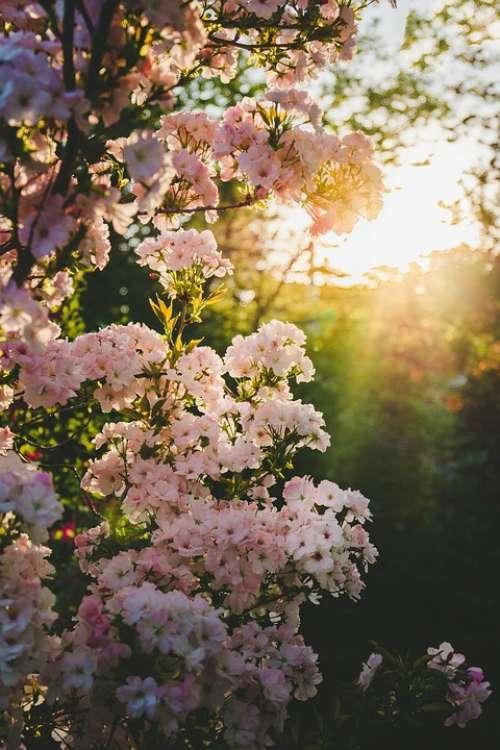 Blooming Spring Garden Blossom Flower Nature
