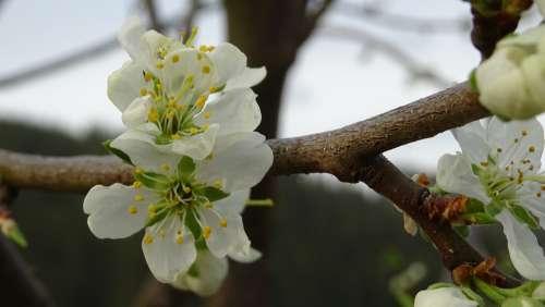 Blossom Spring Tree Plum Nature Branch White