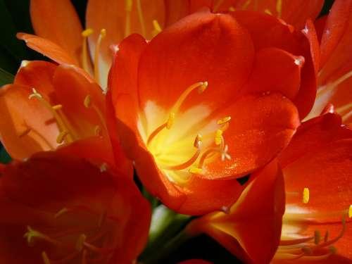 Blossom Bloom Red Close Up Klievie