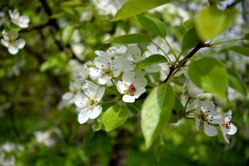 Blossom Flower Fruit Tree Petals White Nature