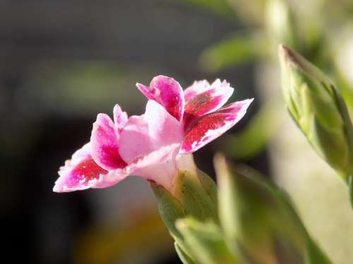 Blossom Bloom Summer Sun Carnation Petals