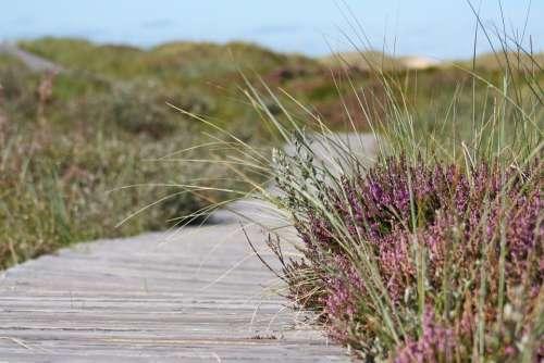 Boardwalk Heather Path Dunes Hiking Walk Grasses