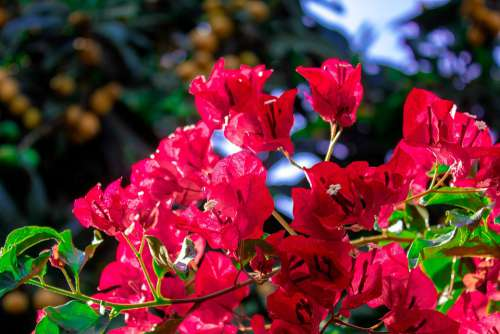 Bougainvillea Flowers Plant Blooming Purple Red