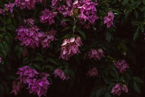 Bougainvillea Flowers Nature Pink Plant Bloom