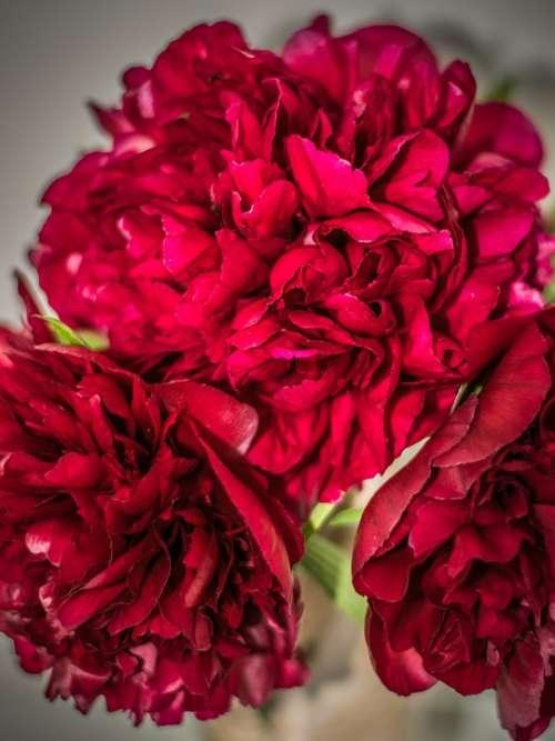 Bouquet Peonies Flower Close Up Flora