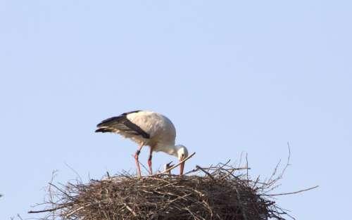 Brood Care Stork Adebar Rattle Stork Nest Young