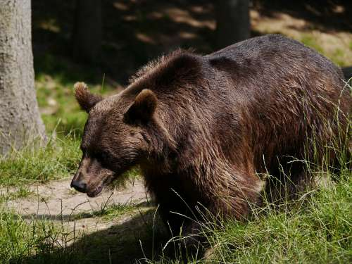 Brown Bear Bear Nature Animal World Forest Fur