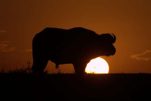 Buffalo Serengeti Savannah Tsavo Amboseli Kenya
