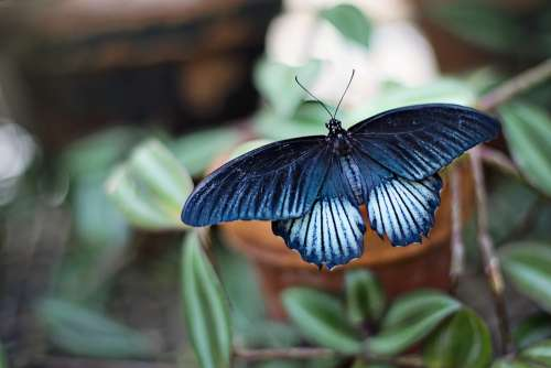 Butterfly Blue Black Insect Large Spring Summer