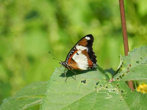 Butterfly India Wild Nature