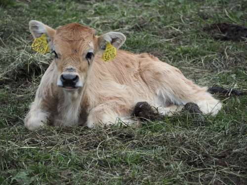 Calf Boo Cow Beef Cattle
