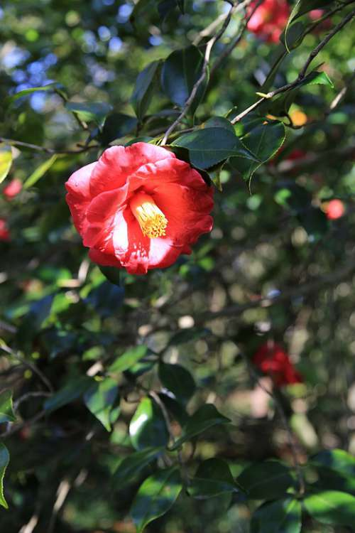Camellia Camellia Flower Flowers Plants Nature