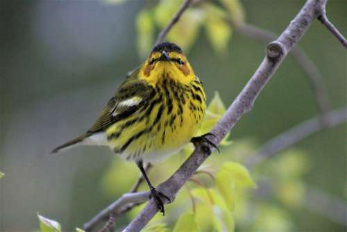 Cape May Warbler Bird Yellow Warblers Wildlife