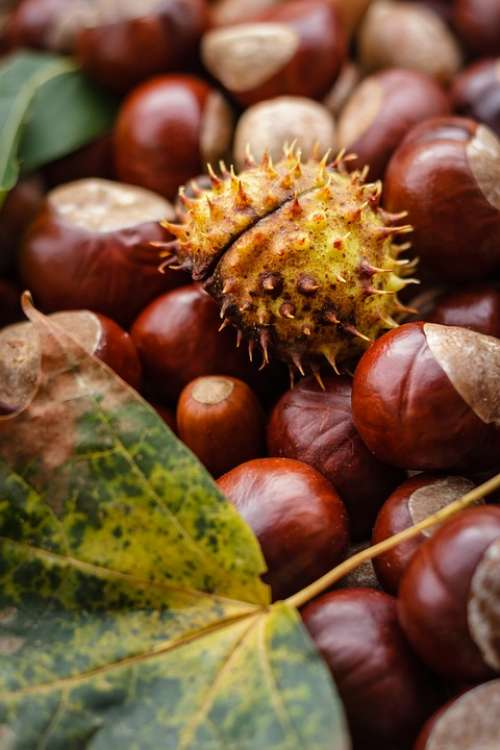 Castanea Chestnut Autumn Nut Buckeye Oak Ripe