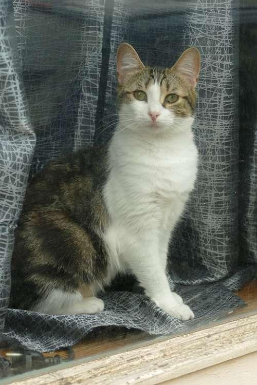 Cat Cats Pet Fauna Window Window Sill Curious