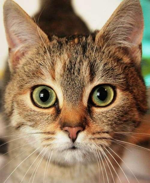 Cat Animal Eyes Kitten Head Cute Nature Predator
