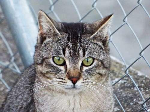 Cat Look Eyes Animals Feline Pet Kitten Whiskers