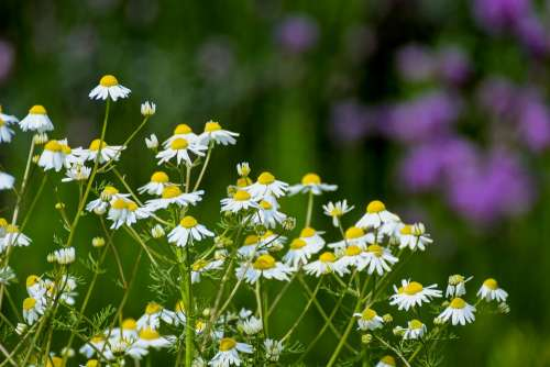 Chamomile Flowers Naturopathy Medicinal Plant