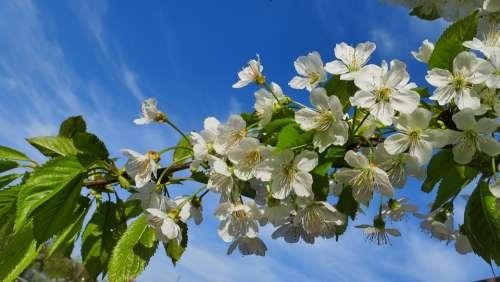 Cherry Flowers Spring Nature Tree Flower Garden