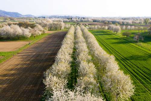Cherry Blossom Trees Cherry Spring Pink Blossom