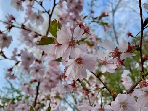 Cherry Blossom Spring Pink Tree Nature Branch