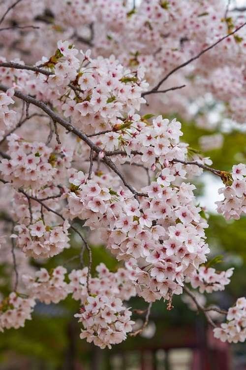 Cherry Blossom South Korea Flower Spring Nature
