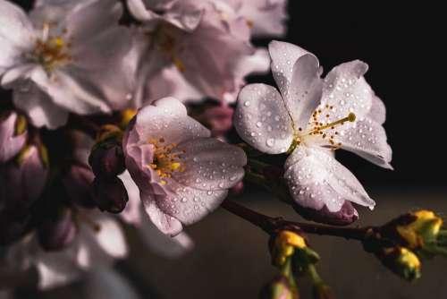 Cherry Blossoms Branch Pink Spring Cherry Blossom