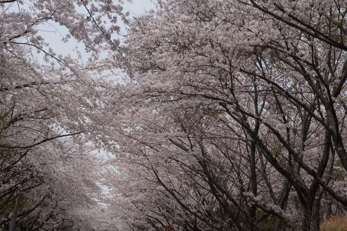 Cherry Blossoms Spring Blossom Bloom Nature Tree