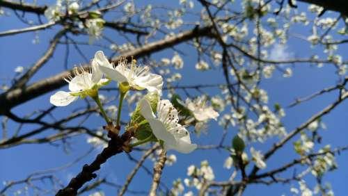 Cherry Blossoms White Flower Cherry-Tree