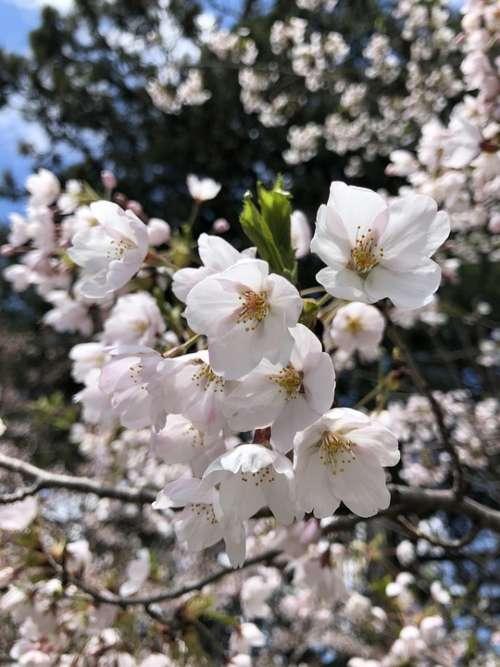 Cherry Blossoms Sakura Spring Bloom Nature Tree