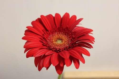 Chrysanthemum Red Flower Plants