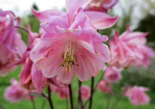 Columbine Flower Pink Garden Nature Green Plants