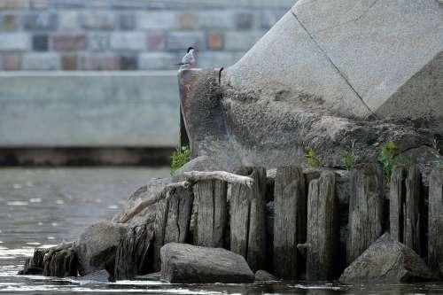Common Tern River City Bridge Bird Avian
