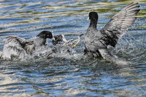 Coots Argue Fight Wing Waters Nature Waterfowl