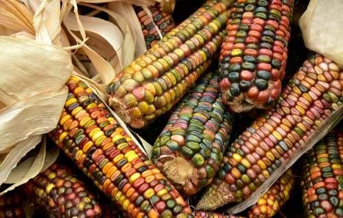 Corn Harvest Food Ornamental Corn Cereals