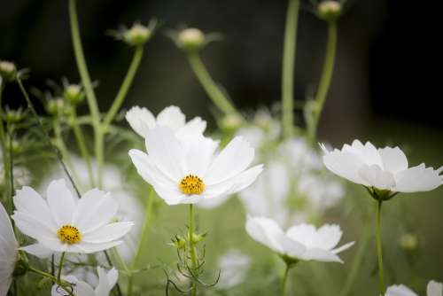 Cosmos White Flowering Nature Plant Flowers Flora