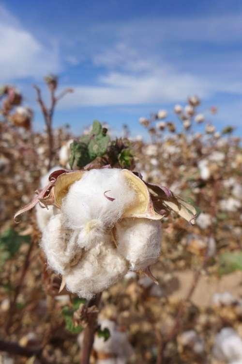 Cotton Cotton Flower Cotton Field Blue Sky