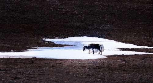 Cow Buffalo Yolk Snow Mountains Theme Photography