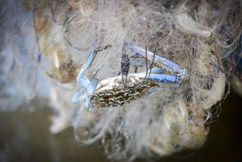 Crab Fishing Nets Catch A Crab
