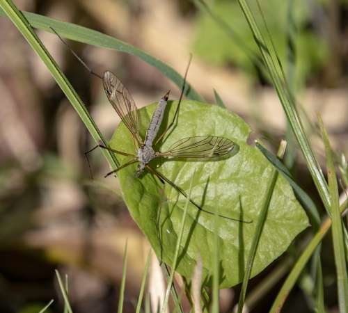 Cranefly Insect Wings Veins Fly Tipulidae Nature