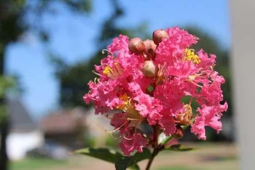 Crepe Myrtle Flowers Pink Garden Plant Blossom