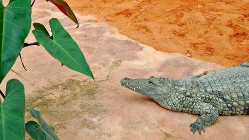Crocodile Ardèche Farm Crocodiles Predator Reptile