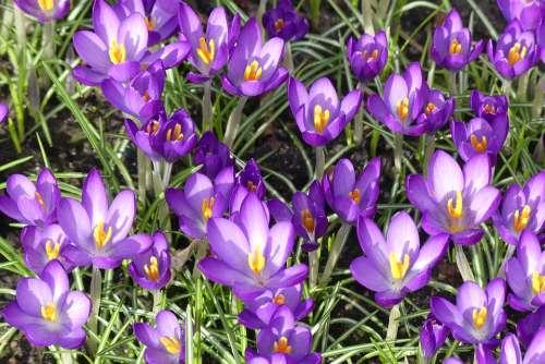 Crocus Spring Purple Blossom Bloom Flowers Garden