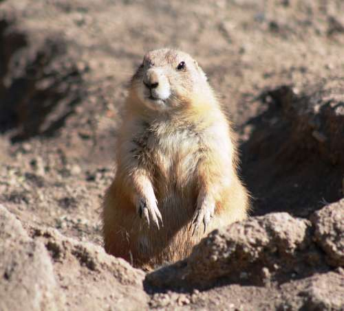 Cynomys Black-Tailed Prairie Dog Animal Rodent Cute