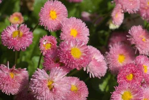 Daisies Flowers Bloom Pink Marguerite Garden