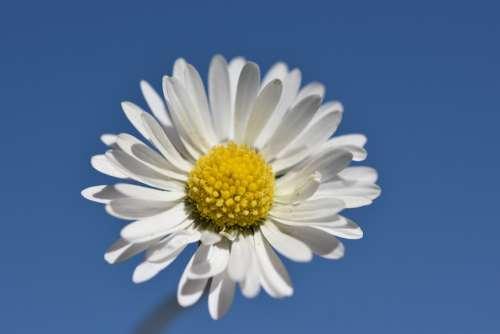 Daisy Flower Spring Nature Bloom White Summer