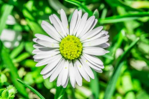 Daisy Flower Grasshopper Meadow Spring Daisies