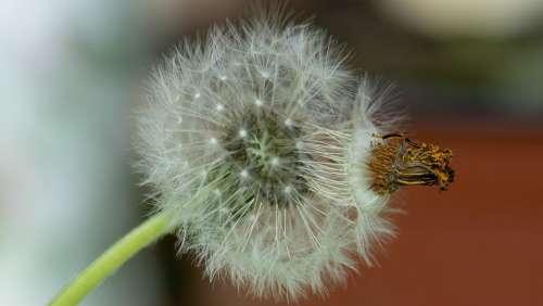Dandelion Flower Seeds Macro Flowers Natural