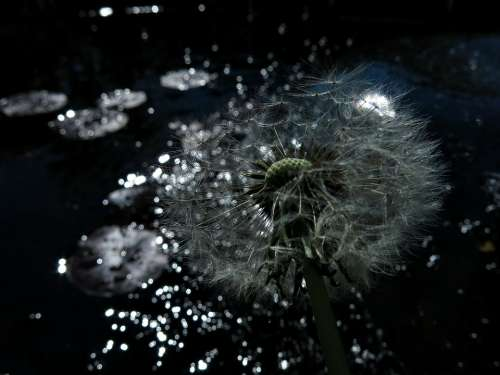 Dandelion Sparkle Magic Faded Seeds Wild Flower