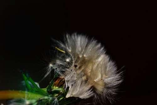Dandelion Seeds Close Up Flying Seeds Nature